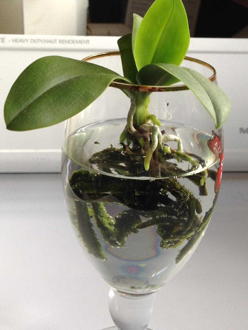 Image result for grow orchids in water semihydroponics and water