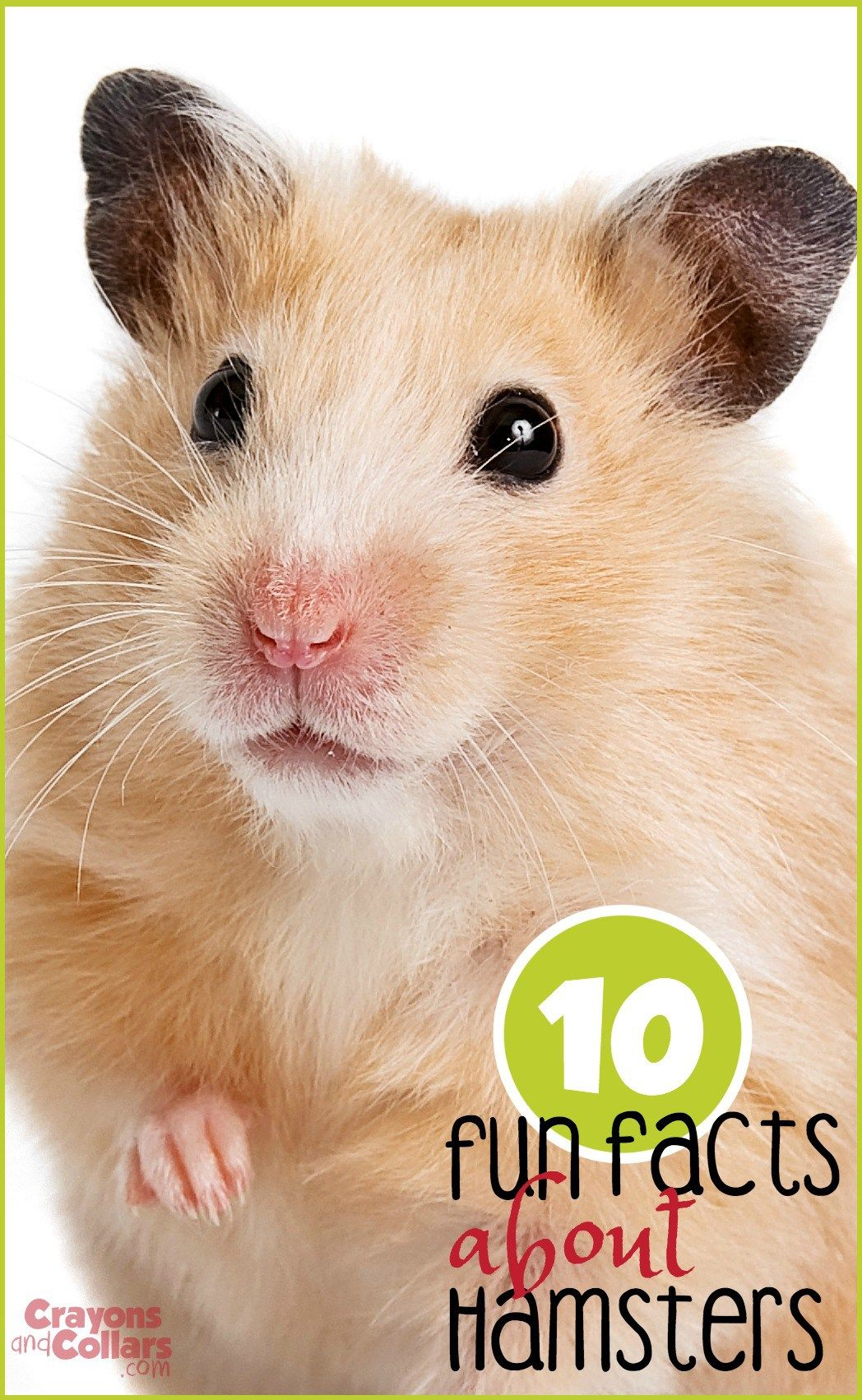 10 Fun Facts About Hamsters Crayons And Collars Life With Kids And Pets Hamster Care Animals For Kids Hamsters As Pets