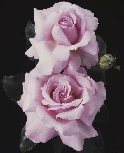 Memorial Day Hybrid Tea Rose Celebrate Memorial Day All