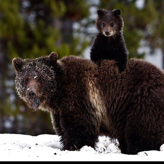 Mama bear and baby bear   animalistic   Pinterest ...