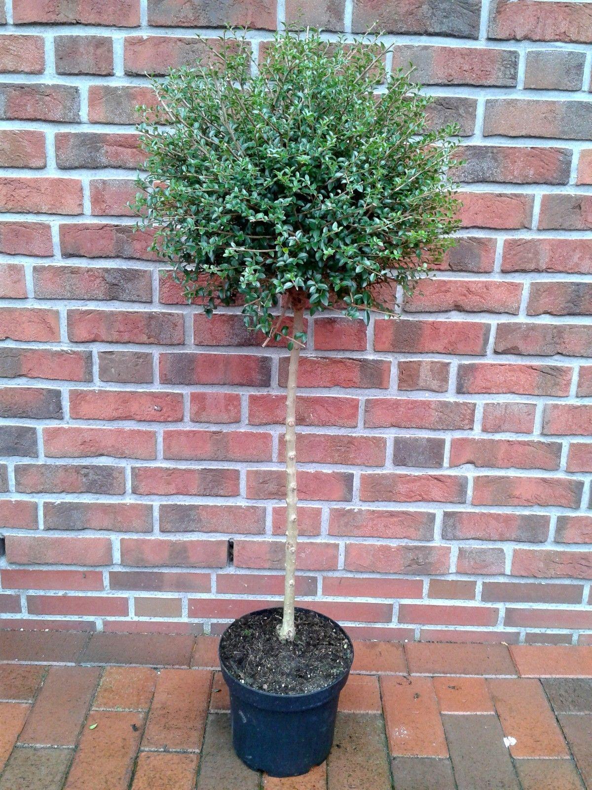 liguster stämmchen | pflegeleichte pflanzen | pinterest | gardens, Garten und bauen