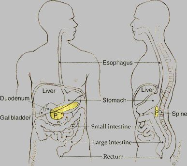 General Information - The pancreas is an oblong flattened gland ...