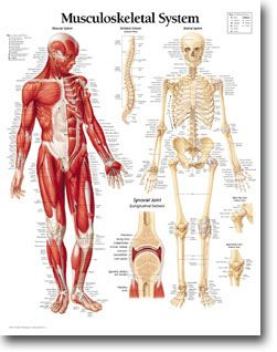 Musculoskeletal System  Muscles Bones And Joints  Anatomy