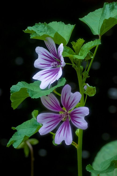 Hollyhock Mauve Fleur Sauvage Nature Pinterest Hollyhock