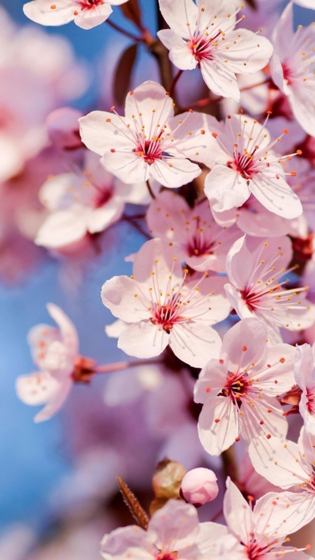 Wall 13 Mobile9 Beautiful Flowers Blossom Trees Sakura Cherry Blossom
