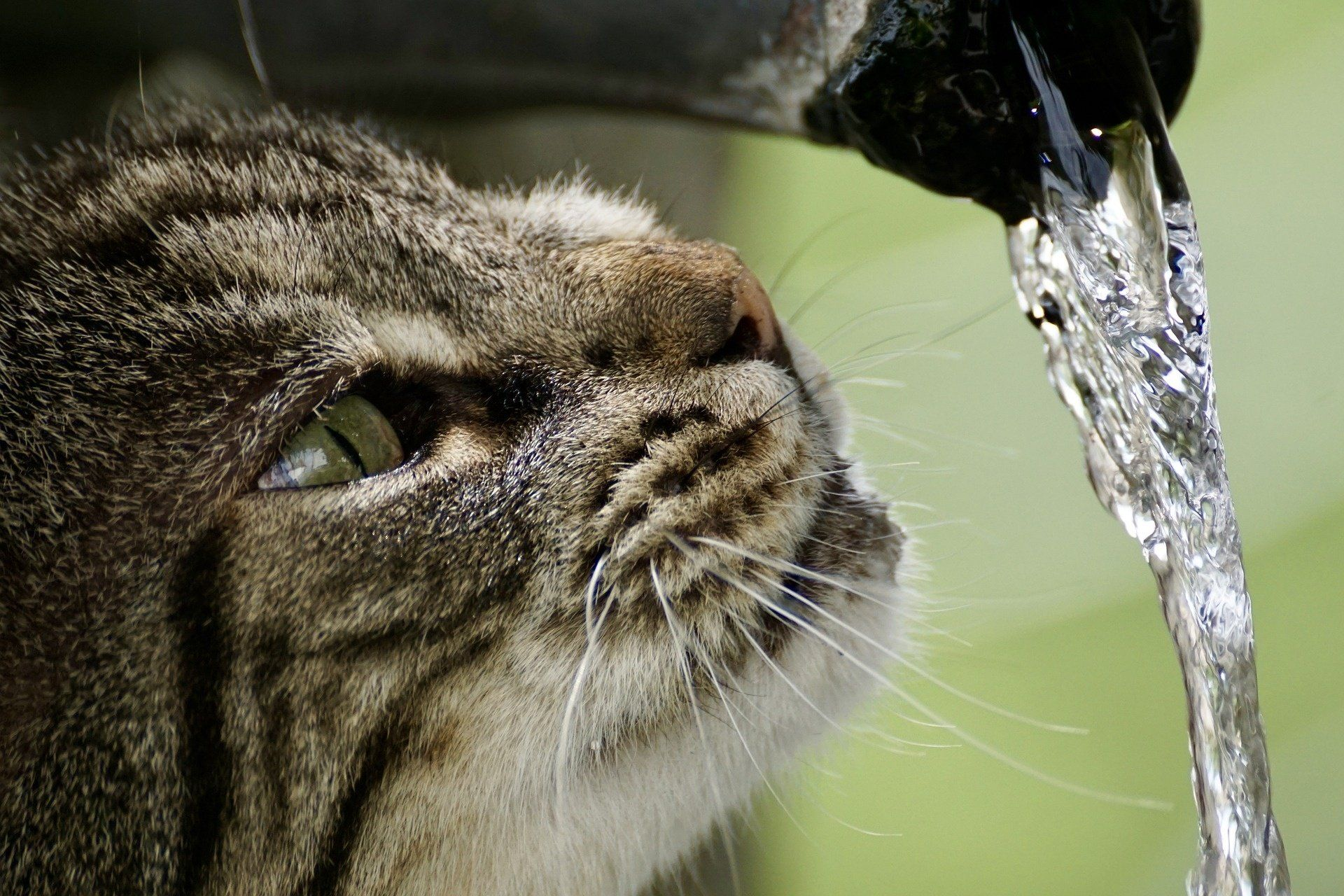 My Cat Won T Drink How Much Water Cats Need Dehydration Prevention In 2020 Cat Drinking Cats Drinking Water