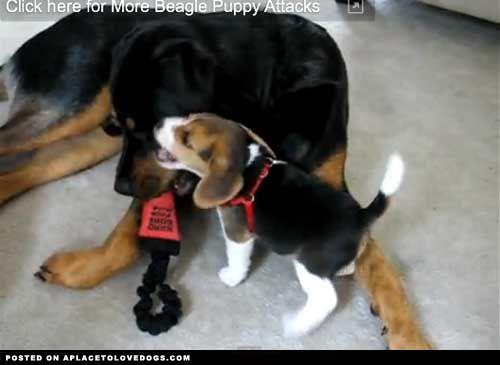 Simple Video Beagle Adorable Dog - b6449c322e4afe3f1db9b5b4592c82e3  Photograph_311310  .jpg