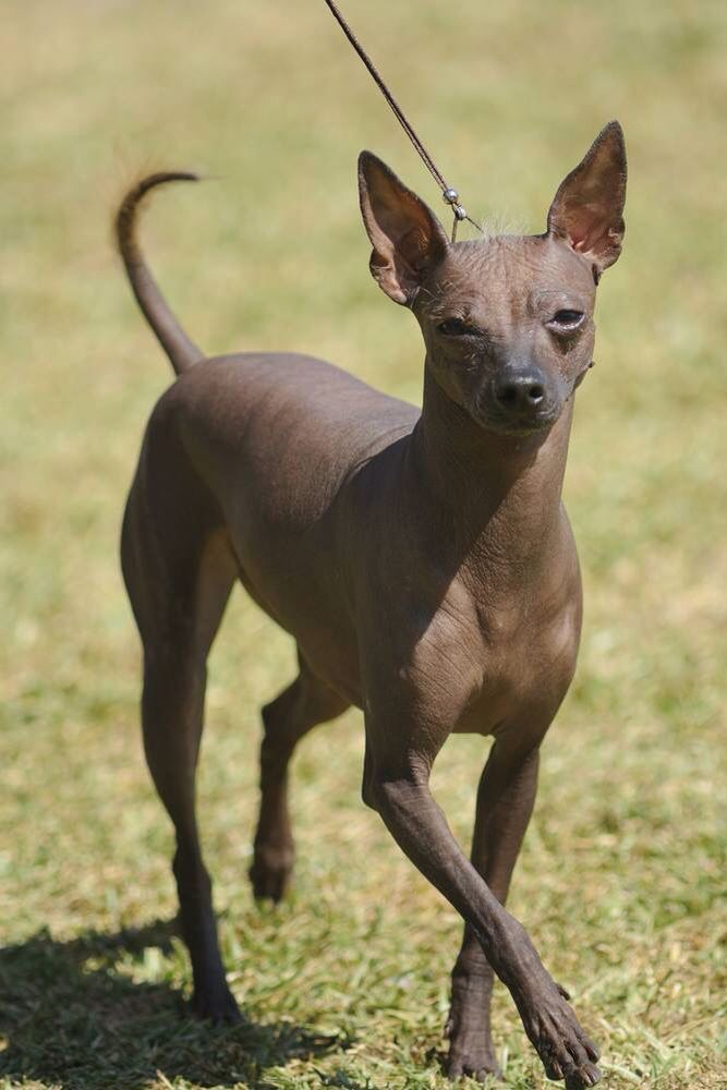Animals Dogs By Shirley Millard Xoloitzcuintli Peruvian Hairless Dog Happy Dogs