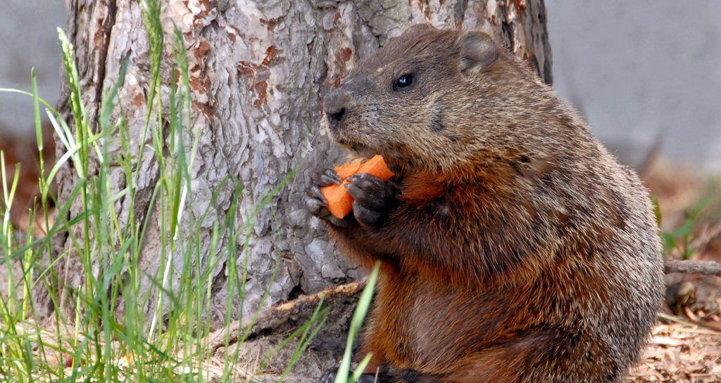 5 natural ways to get rid of groundhogs get rid of