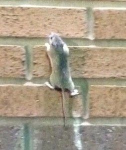 Can Mice Climb Canning Mouse Climbing