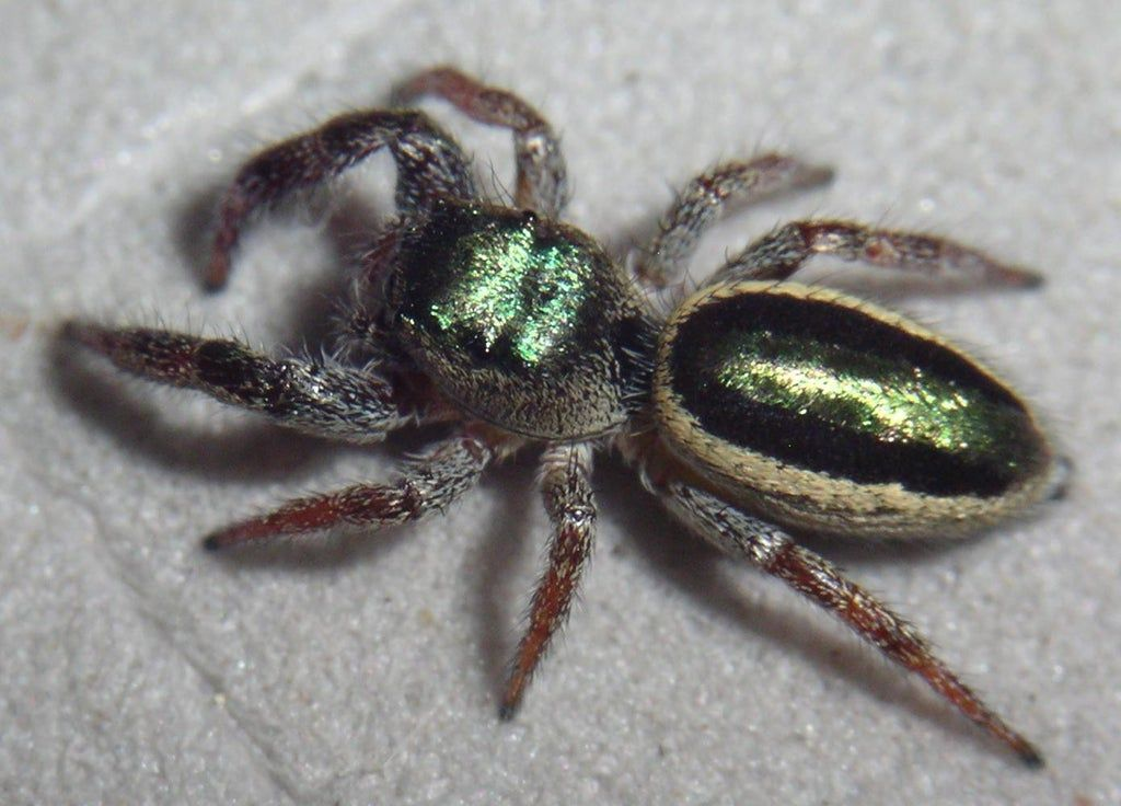 Bagheera Kiplingi The Only Known Mostly Herbivorous Species Of Spider Aidke In 2020 Spider Unusual Animals Jumping Spider