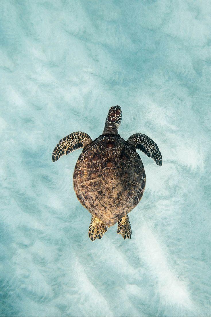 Where To Swim With Turtles On Oahu Hawaii Turtle Ocean Nature