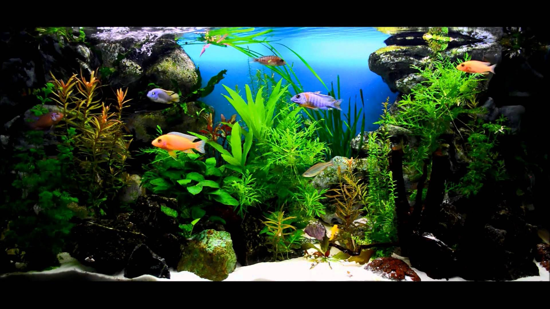 African cichlids aquarium 1000 aquarium ideas for Freshwater fish tank setup