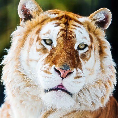 tigre de sumatra dourado - Pesquisa Google