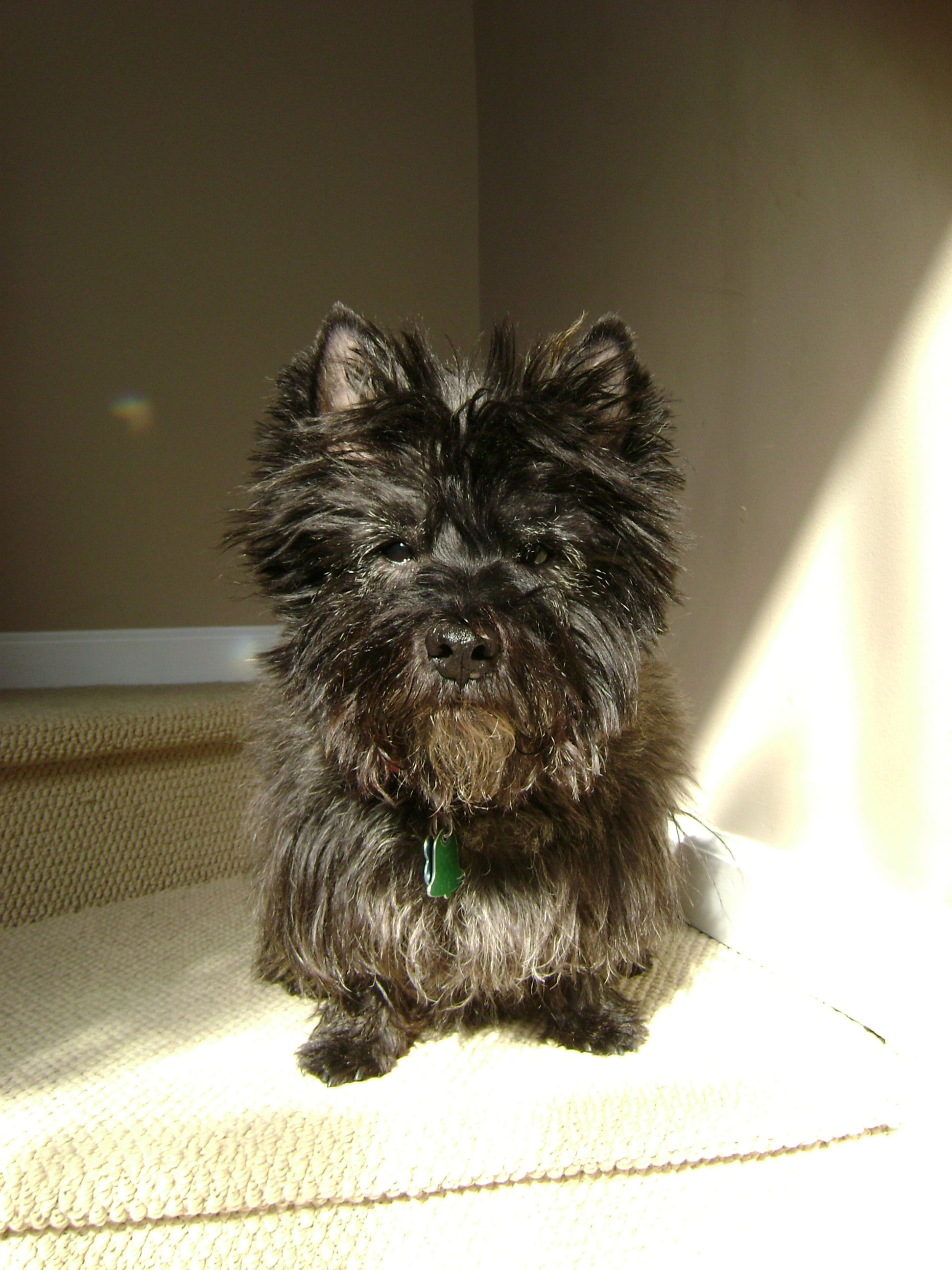 Pin By Martha Watson On Cairn Crazy Cairn Terrier Terrier Dogs