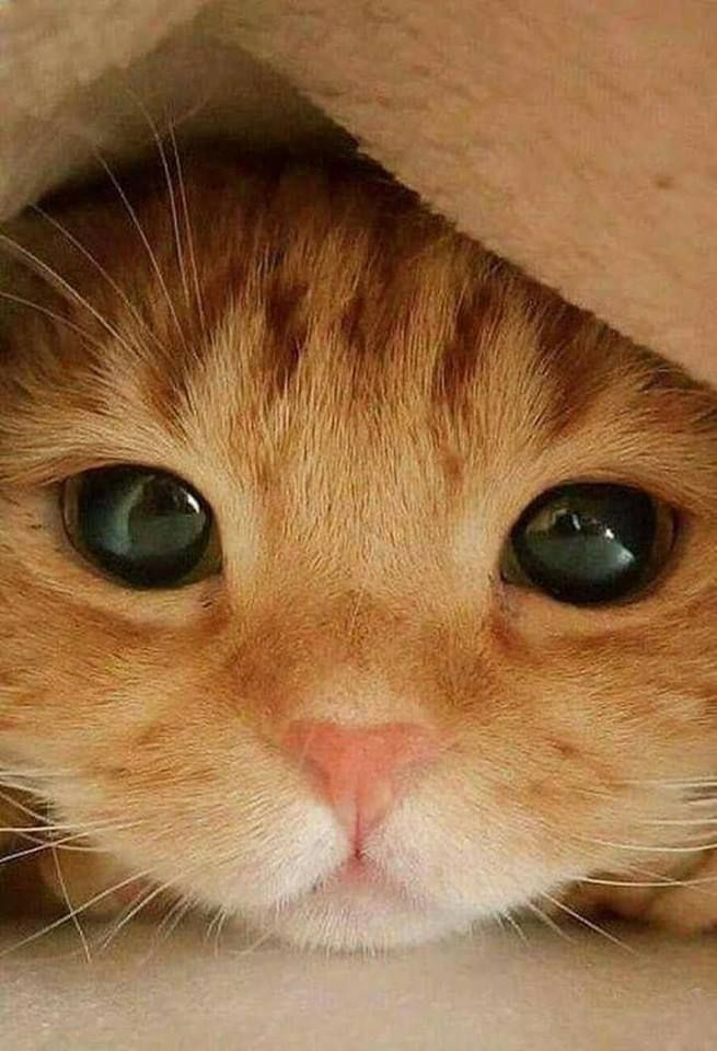 Peekaboo Kitten Cat Catlover In 2020 With Images Cute Baby Animals Cute Animals Kittens Cutest