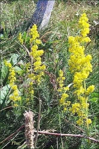 Gaillet vrai - Caille-lait (Galium verum L.) Rubiacées. Plante à tiges arrondies, dressées de 30 à 70 cm terminées par un panicule à nombreuses fleurs odorantes.vivace. Floraison de mai à juin.Espèce très commune dans les prairies sèches, haies, chemins, fossés. Peut se rencontrer jusqu'en zone alpine.