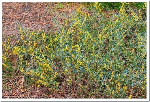 Acacias In Bloom At Uc Davis Arboretum Arboretum Public Garden Garden Visits