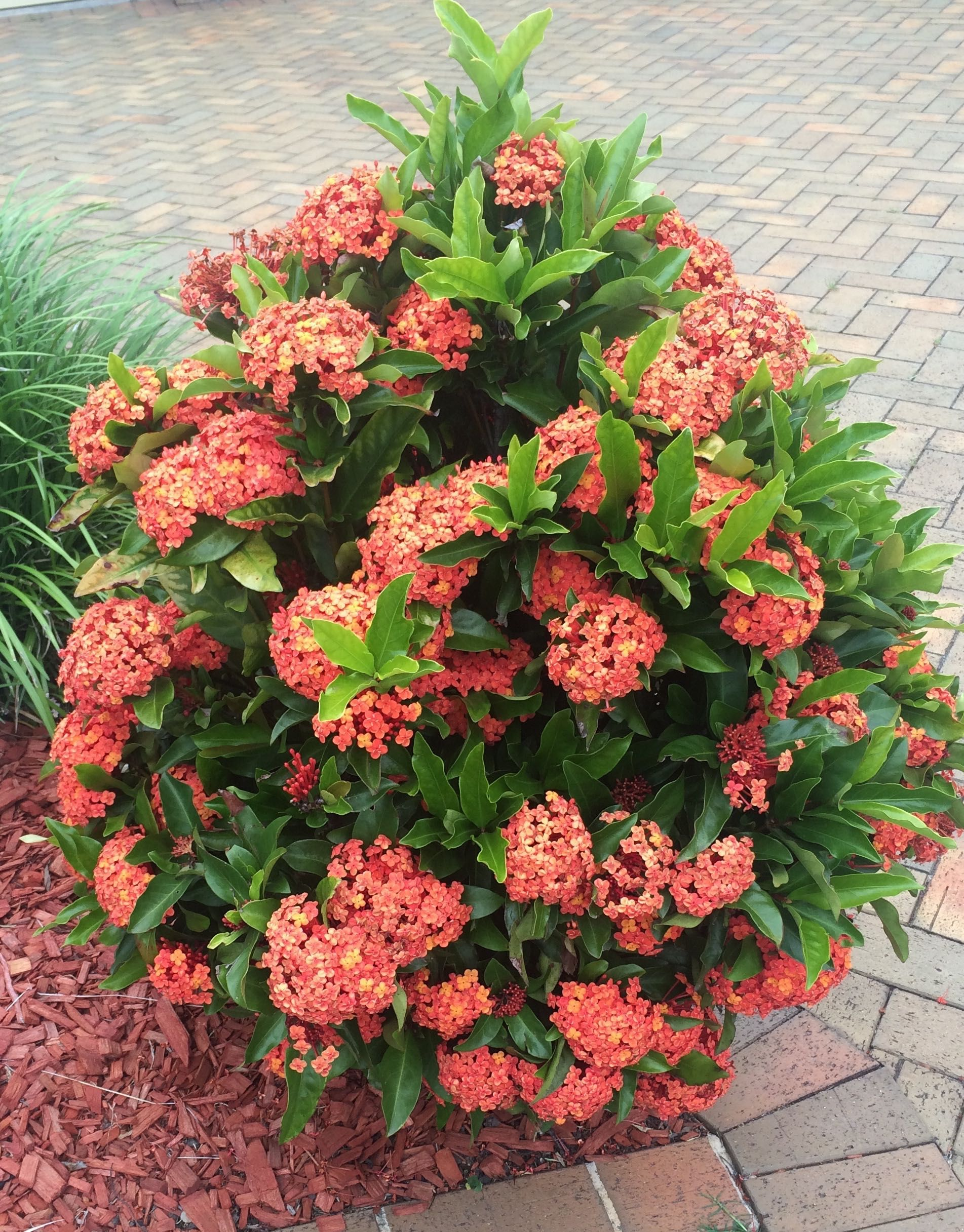 Famosos Ixora 'Prince of Orange' West Pennant Hills, Sydney, Australia  ZV18