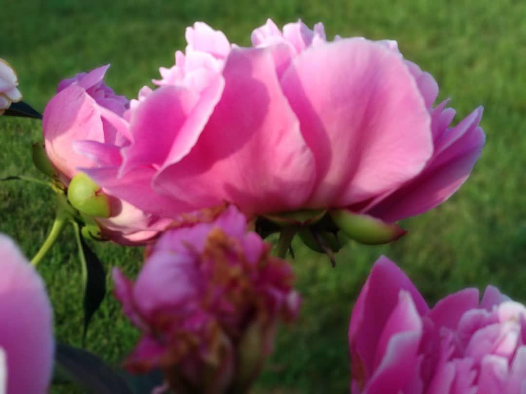 Практически портрет королевскийцветок садовыецветы дача деревня лето peonyflower kingsflowers gardenflowers