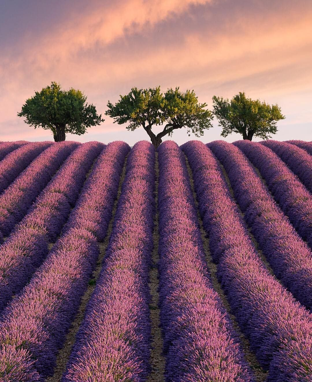 Its hard to describe in words just how stunning the lavender fields its hard to describe in words just how stunning the lavender fields in southern france can be here is one of my favorite locations where three trees izmirmasajfo