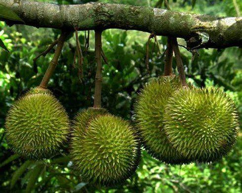 Kebun Durian Jumapolo