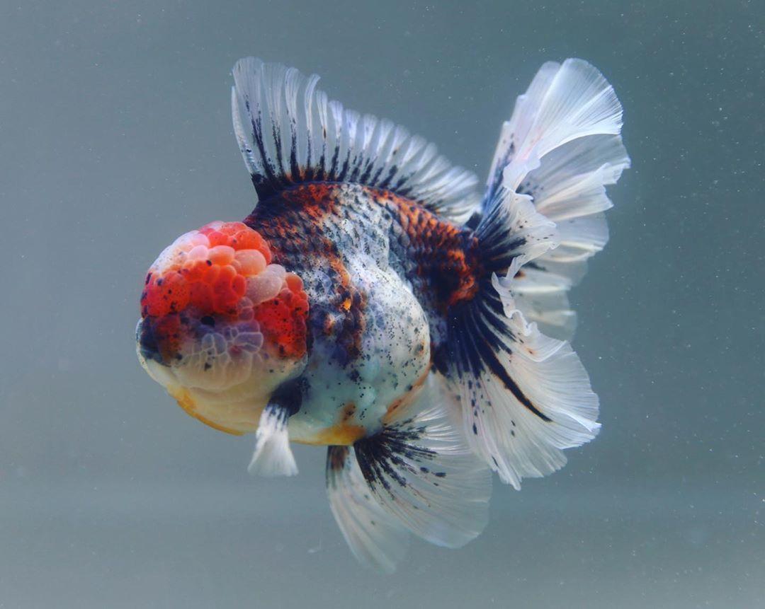 Pin On Glorious Goldfish
