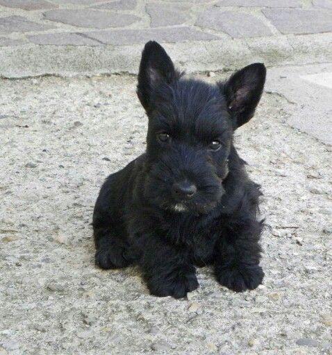 490 Scottie Ideas Scottie Scottie Dog Scottish Terrier