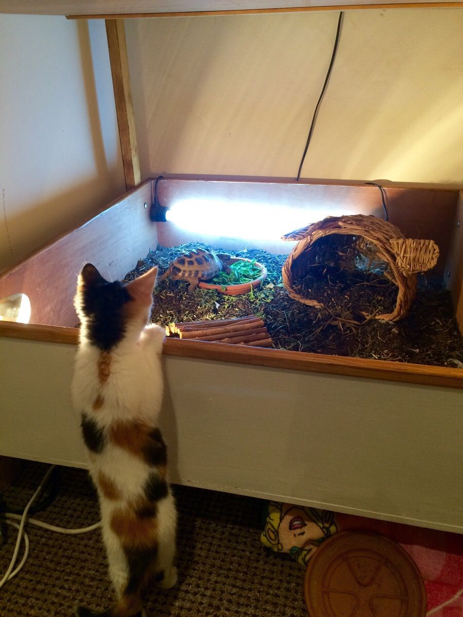 My Girlfriends Kitten is finally tall enough to see into the Tortoise table.