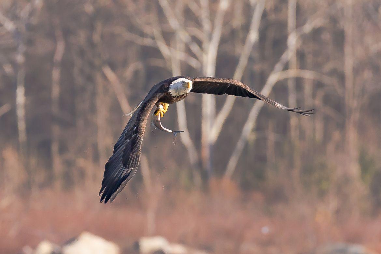 Maryland Bald Eagle In Flight Bald Eagle Eagle In Flight Bald Eagle Photo