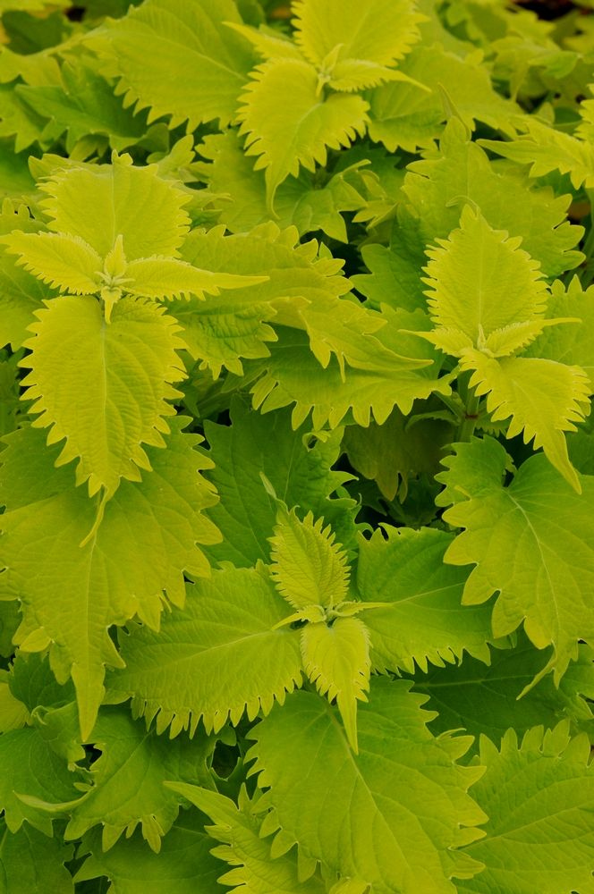 Durable Plants For The Garden: Durable And Rugged For A Coleus, Wasabi's Serrated