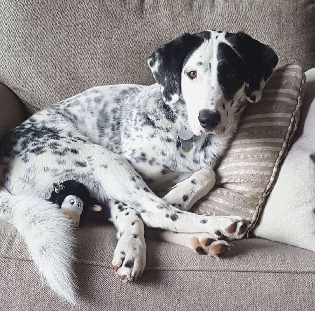 Kepler making himself comfortable dogpictures dogs aww