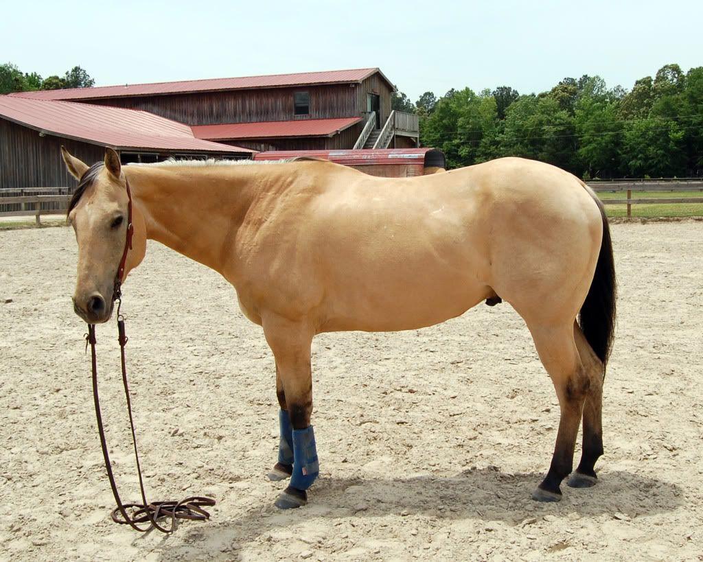 quarter horse buckskin - photo #36