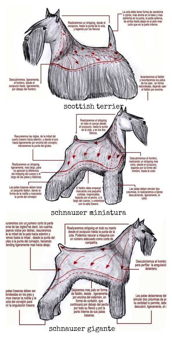 Arreglos de raza: scottish terrier, schnauzer miniatura y schnauzer ...