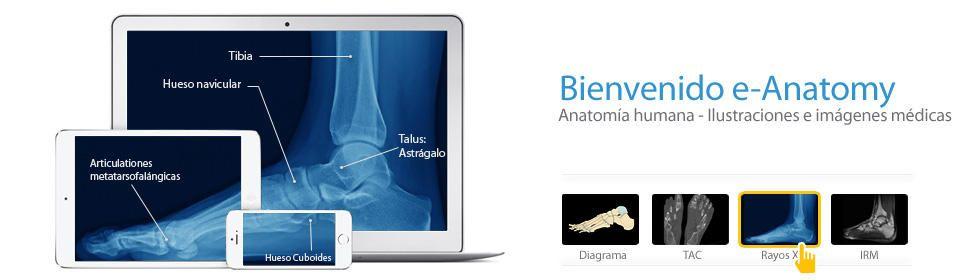 Diferentes atlas de anatomía gratuitos a través de Imaios | Atlas de ...