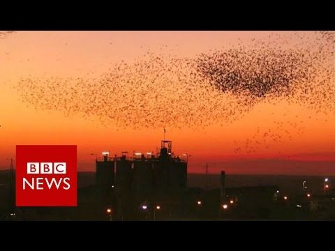 Starlings form spectacular 'dancing clouds' over Israel - BBC News