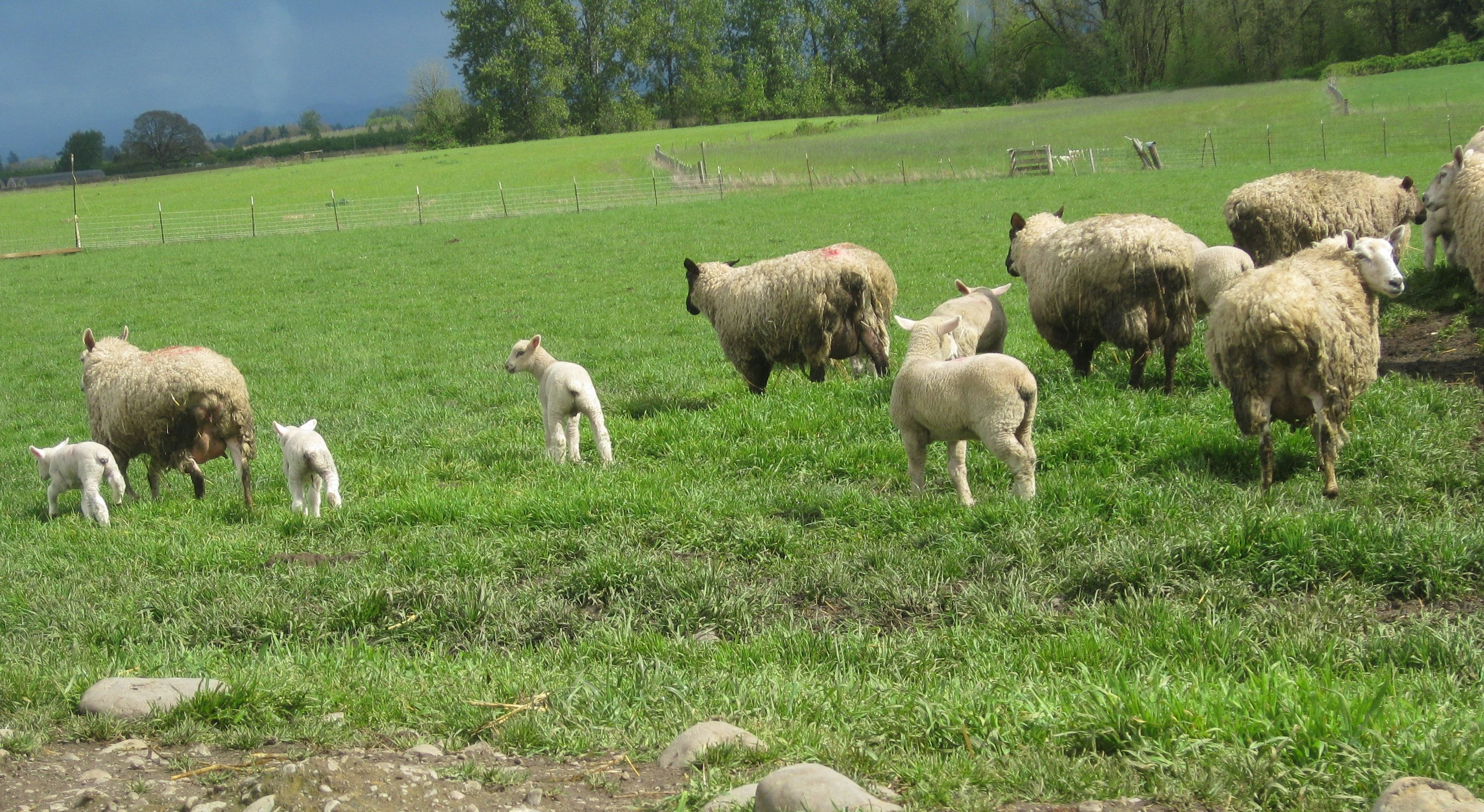 b64a29e81be321468c4bfa5c67835260 - Is Sheep Manure Good For Vegetable Gardens