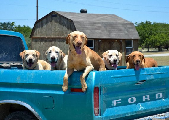 dogs in the back of pickup trucks