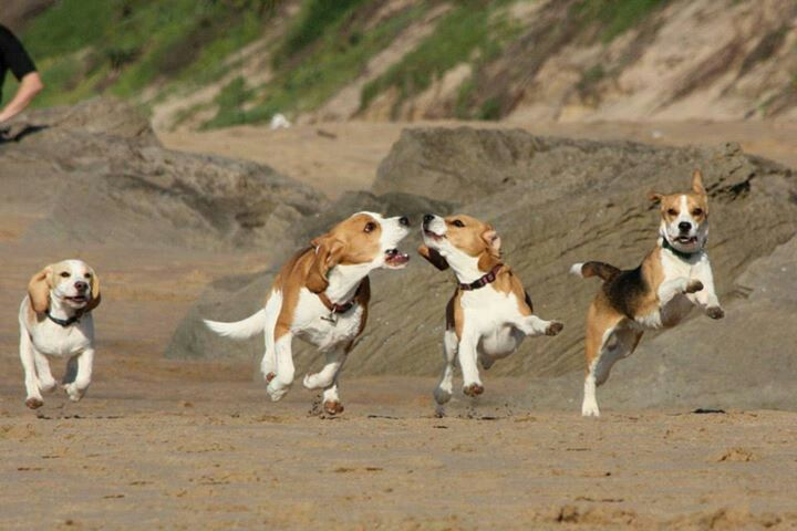 beagle pack has fun on the beach