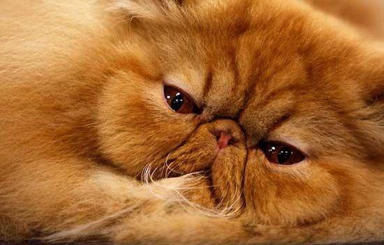 Породы кошек с фотографиями и названиями. Топ 58 пород ...