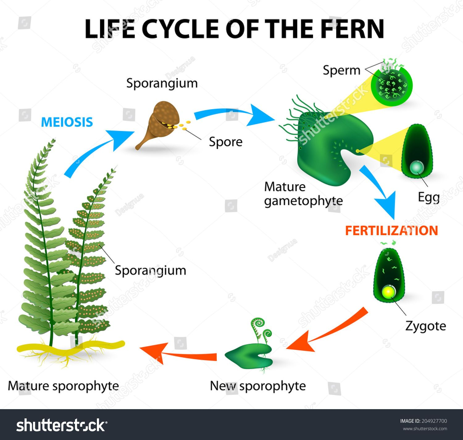 The Life Cycle Of Ferns Is Different From Other Land Plants As Both The Gametophyte And The Sporophyte Phases Are Fre Fern Life Cycle Life Cycles Plant Science