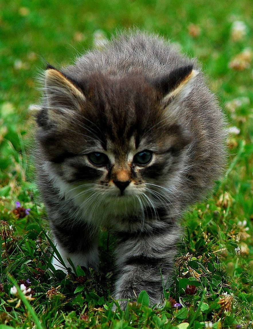 Kitten Walking Through The Grass Kitten Tinykitten Tinycat Aww Purebred Cats Domestic Cat Cute Cats And Kittens