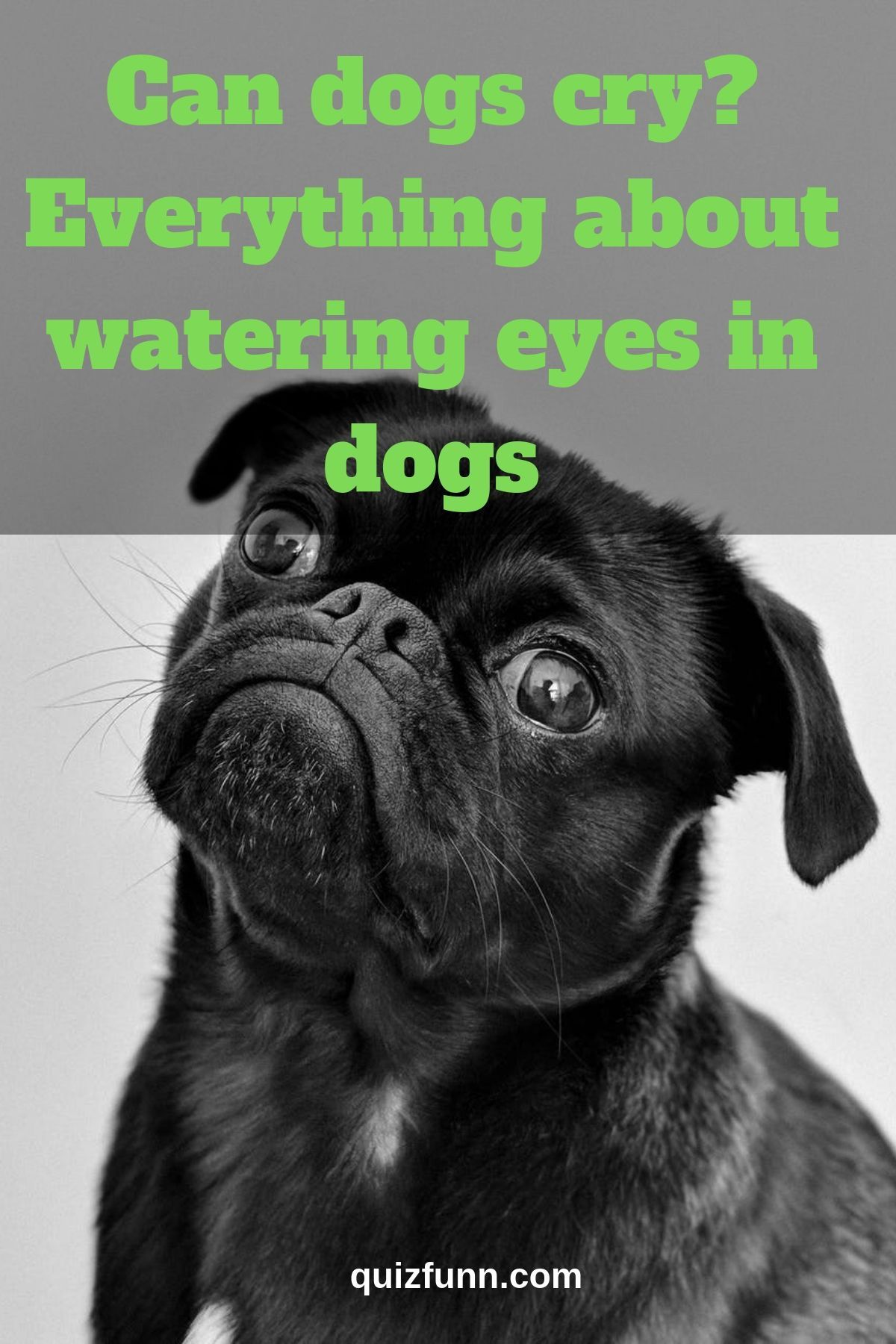 Can Dogs Cry Everything About Watering Eyes In Dogs Can Dogs