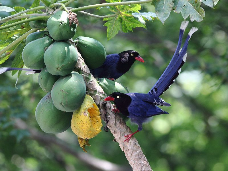 臺灣藍鵲了 @ Larry0923的鳥類紀錄 :: 隨意窩 Xuite日誌 | Animals, Birds, Tai