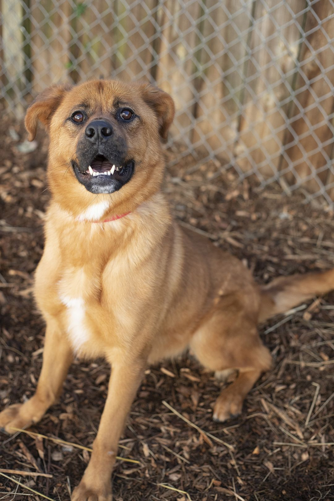Adopt Pele on Chow chow mix, Adoption, Rescue dogs