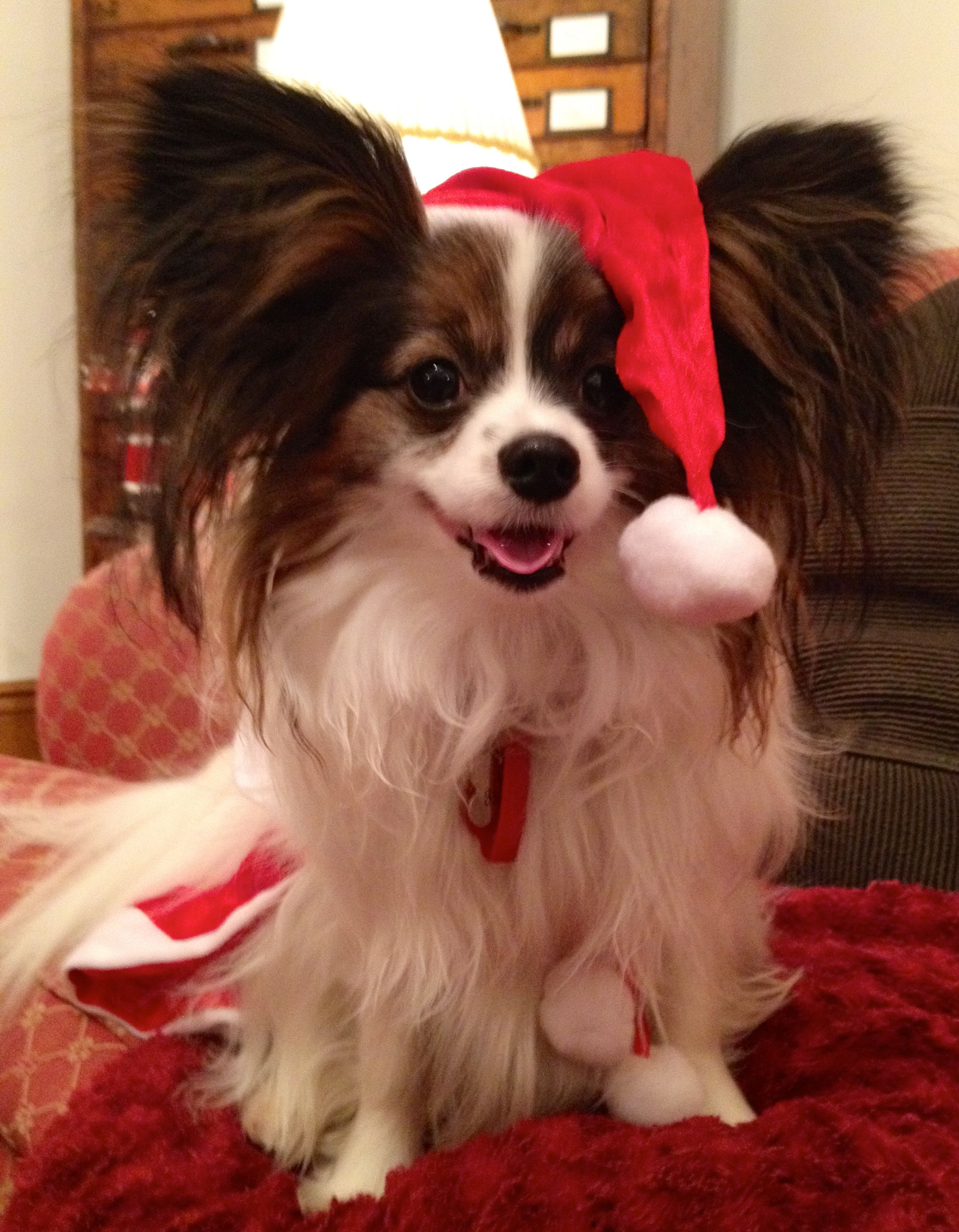 Christmas Dog (perhaps the night after) | Dogs ❤ | Pinterest