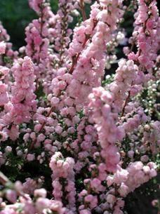 Buy Calluna Vulgaris H E Beale Scots Heather In The Uk Scottish Heather Plants Heather Plant