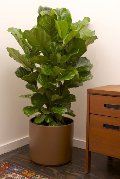 Ficus Lyrata Or Fiddle Leaf Fig Column From Houston
