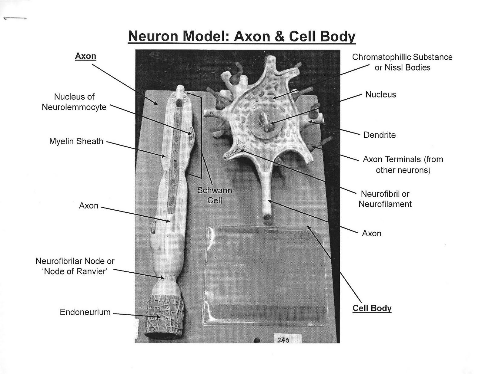 Neuron Model