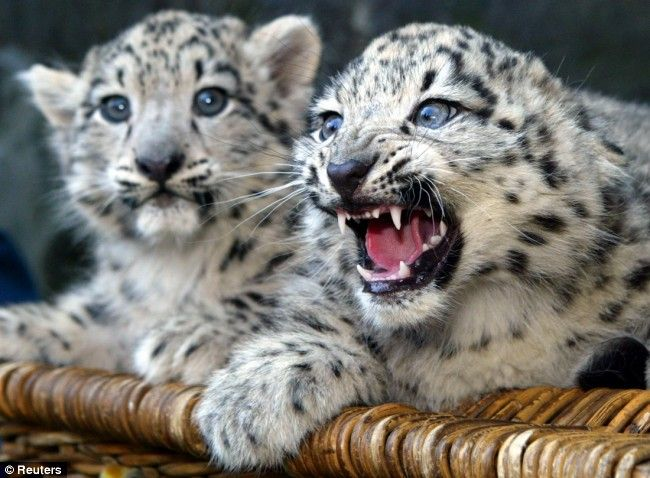 Snow Leopards Of Afghanistan Survived 30 Years Of War Only To